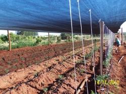 Área experimental de pimentões na localidade do Curuçu